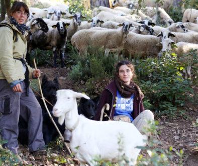 Sant Cugat del Vallès. . Urbanització Sol i Aigua. Reportatge sobre unes pastores que tenen un ramat d'ovelles per netejar el sotabosc de les urbanitzacions.