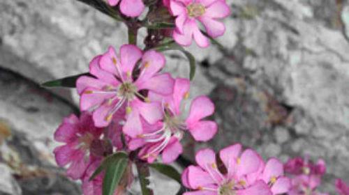 Silene ifacensis